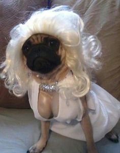Happy birthday marilyn monroe dogs costumes marilynmonroe dogs