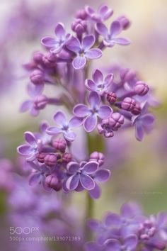 lilac by kim1971. Please Like http://fb.me/go4photos and Follow @go4fotos Thank You. :-)