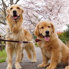 Cherry&Fuzzy * #ilovegolden_retrievers #pets_perfection #my_loving_pet #dogs_of_instagram #golden_retrieverlovers #pupdoggydog #meowvswoof #bestwoof #dog_features #dogsofinstagram #ilovemydog #puppytales #instagramdogs #dogstagram #nature_cuties #FurrendsUpClose #goldens_ofinstagram #igclub_dogs #gloriousgoldens #instadog #goldenretriever #puppytrip #retrieversgram #welovegoldens #Excellent_Dogs #amazing_picturez_animals #FUNPETLOVECLUB #cutepetclub #bestfriends_dogs #west_dog_japan