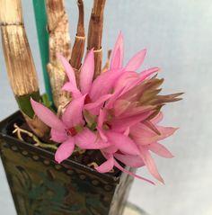 Intra-specific Orchid-hybrid: Dendrobium (Dendrobium bracteosum x Dendrobium tannii 'Red')