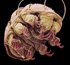 another tardigrade( water bear)