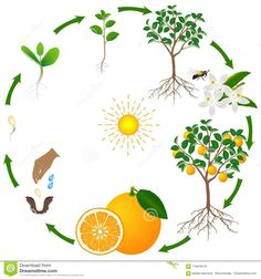 Illustration about A life cycle of an orange tree on a white background, beautiful illustration. Illustration of isolated, fall, illustration - 119418418