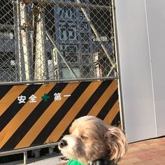 #豊洲市場 がもうできてるのに開いてないのでおかむりのぷーちゃろー君(^o^)#instadog #dog #kaumo #Clubmusic #やんちゃな犬 #社長 #刺青 #海外旅行  #縁 #暇 #犬 #アラサー #アラフォー #ミックス犬 #マルプー #愛犬 #犬服 #マルチーズ #トイプードル #ペット