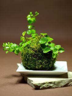 JPB:Kokedama bonsai