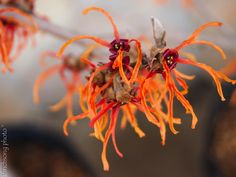Jelena Witchhazel (Hamamelis x intermedia 'Jelena') Blooming in winter, from January to March depending on the weather. This large shrub, up to 12', has fragrant rich copper-red ribbon like flowers. In the fall it has great orange leaf color. And it is deer resistant. Tolerated moist soils.