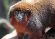 T2i 550d - Red Monkey by @Doug Krugman Wheller, via Flickr