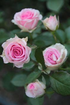 Mini-flora Rose: Rosa 'Mimi Eden' (France, 2001)