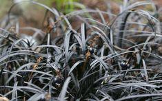 Black Colored Plants