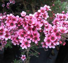 Leptospermum scoparium 'Nanum Ruru' 4 flower