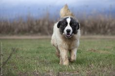 Page Not Found - Royal Canin Pyrenean Mastiff, Purebred Dogs, Majestic Animals, Wolfhound, Aragon, Dogs Of The World, Livestock, Ancient History, Dogs And Puppies
