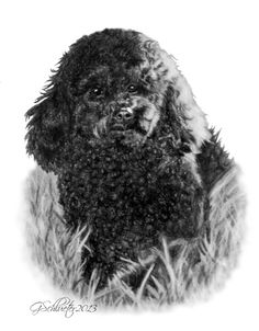 Lucy the Miniature #Poodle sketch. Hand Drawn #Pet Portraits by Artist Genevieve Schlueter. Have a portrait done of your #dog, visit www.gensart.net