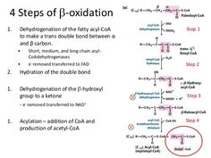 breakdown of fatty acids beta oxidation Study Chemistry, Chemistry Worksheets, Science Student, Medical Science, Biochemistry Notes, Biology Classroom, Biology Lessons, Physical Geography, Study Board
