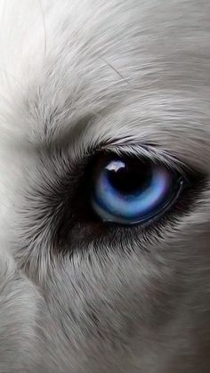 7 Dogs With Absolutely Breathtaking Blue Eyes Since you came here, we won't let you leave without appearing some very noteworthy wonderful blue-eyed pooch breeds! Wolf With Blue Eyes, Wolf Eyes, Wolf Wallpaper, Animal Wallpaper, Beautiful Wolves, Beautiful Dogs, Wolf Spirit, Spirit Animal, Husky Eyes
