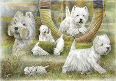 West Highland White Terrier - the most cheerful of all the terriers