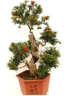 dwarf pomegranate bonsai   Pomegranate Bonsai seeds   ZHONG WEI Horticultural Products Company ...