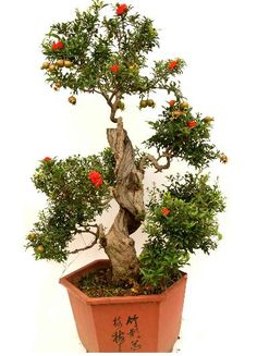 dwarf pomegranate bonsai | Pomegranate Bonsai seeds | ZHONG WEI Horticultural Products Company ...