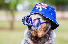 Include your Dog in Australia Day Celebrations   Australian Dog Lover