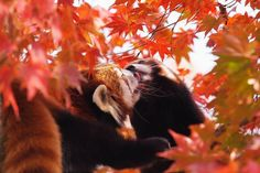 red panda Super Cute Animals, Otters, Red Panda, Animal Kingdom, Red Heads, Cats, Otter