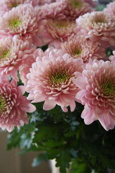 Chrysanthemum Opera pink