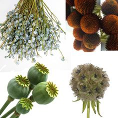 Kit Includes: 3 Bunches Stems) x Scabiosa Pod 3 Bunches Stems) x Poppy Pods (Seasonal Substitutions May Occur) 3 Bunches Stems) x Eucalyptus Pods (Seasonal Substitutions May Occur) 3 Bunches Stems) x Echinacea Pods Scabiosa Pods, Seed Pods, Stems, Poppy, Kit, Flowers, Plants, Products, Gardens
