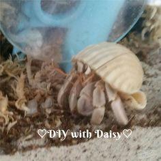 Hermit crab exploring
