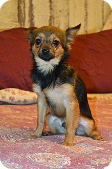 Hagerstown Md Chihuahua Pomeranian Mix Meet Stewart A Puppy