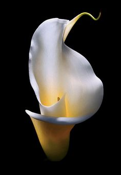 Few fresh cut flowers offer the elegance and versatility of the calla lily. If you are designing your own wedding bouquet, centerpieces or arrangements, the calla lily will provide all of the style… Exotic Flowers, Amazing Flowers, My Flower, White Flowers, Flower Art, Beautiful Flowers, Beautiful Images, Flowers Black Background, White Lily Flower
