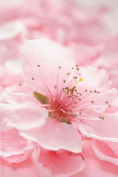 Pink Spring blossom macro by Pixel Stories - Stocksy United Sakura Cherry Blossom, Pink Blossom, Blossom Trees, Cherry Blossoms, Cherry Flower, Frühling Wallpaper, Flower Wallpaper, Pink Flowers, Beautiful Flowers