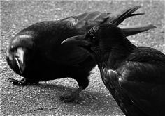Crows by österreich Ungern