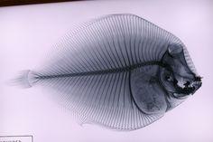 Fish X-Ray   Flickr - Photo Sharing!