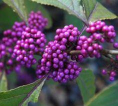 Purple berry CALLICARPA BODINIERI 'PROFUSION'