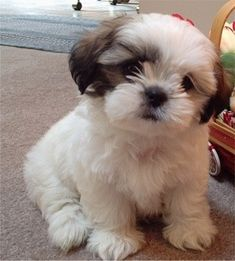 Curious Little Shih-Tzu Puppy