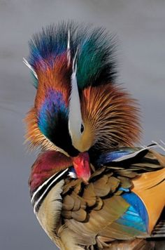 Preening MANDARIN DUCK (Male)