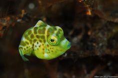 Baby #Filefish