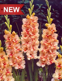 """Sunny Ruffles;  Height: 36-48""""  Bulb Size: 10/12 cm  Deer Resistant: Yes  Perennializing: Yes  Grow In Containers: Yes  Cutflower: Yes  Hardiness Zone: 8 - 11  Suitable Zone: 4 - 11  Planting Time: Spring  Planting Depths: 2-4""""  Planting Spacing: 6-9""""  Bloom Color: Orange"""