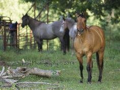 Dun And Grulla Quarter Horse