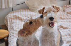 Smooch #wire #fox #terriers