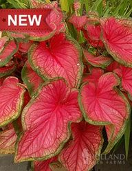 """Sweetheart Caladium:  Height: 18-24""""  Bulb Size: No 1  Deer Resistant: Yes  Naturalizing: Yes  Perennializing: Yes  Grow In Containers: Yes  Hardiness Zone: 9 - 11  Suitable Zone: 4 - 11  Planting Time: Spring  Planting Depths: 2-3""""  Planting Spacing: 6-9"""""""