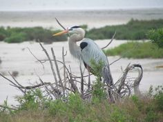 Great Blue Herons, Aransas National Wildlife Refuge, Texas