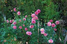 o meu pé de dálias, estamos em outubro e está a dar flores desde março