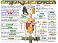 Pet Remedy Charts - Avian Anatomy  Physiology  Price : $13.00 http://www.helpingparrots.com/Pet-Remedy-Charts-Anatomy-Physiology/dp/B00C0130VI