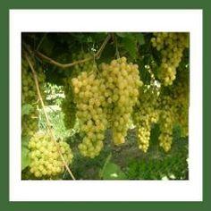 http://www.plantistanbul.com/Plantistanbul-Asma-Uzum-Fidani-YALOVA-CEKIRDEKSIZ-Tuplu,PR-465.html
