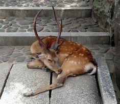 Sleeping stag
