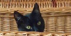 Milded the Cat - warning to my black cat friends - hide! http://www.bubblews.com/news/8998220-warning-to-my-black-cat-friends-hide