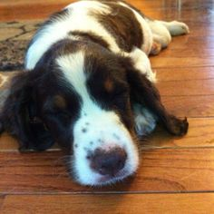 English springer spaniel puppy (my Darby! Loved him so much for the 13 years I was blessed to have him)