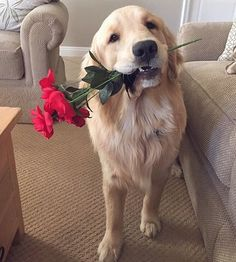 All the things we all admire about the Friendly Golden Retriever Dogs Cute Baby Animals, Animals And Pets, Funny Animals, Cute Dogs And Puppies, I Love Dogs, Doggies, Perros Golden Retriever, Golden Retrievers, Dog Tumblr