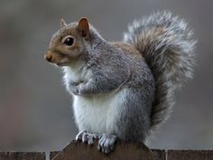 Eastern gray squirrel 35 by ~EasternGraySquirrel on deviantART