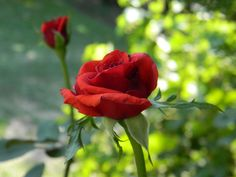 Red roses by Ioana Bonu on 500px