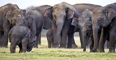 Elephant Family, Sri_Lanka by Chamila Karunatathne via guardian.co,uk #Photography #Elephants #Chamil_Karynaratgne #Sri_Lanka