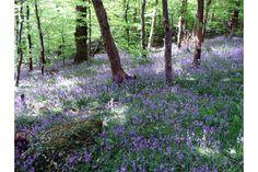 Plymbridge Woods Bluebells UK